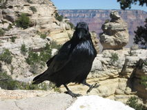 Walking crow Royalty Free Stock Photo