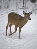 Walking doe Stock Photography