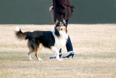 Walking Dog. An dog is walking with its master in grassland in autumn park,with a line in its neck Royalty Free Stock Image