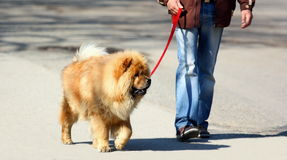 Walking the dog. A person walking his (chow chow) dog in a park Royalty Free Stock Image