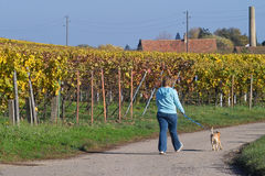 Walking the dog. A woman walking her dog in wineyards, Germany Royalty Free Stock Photography