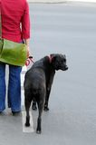 Walking a dog. Woman walking a dog on the street Stock Image