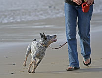 Walking the dog along the beach royalty free stock images