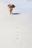 Walking dog at the beach Royalty Free Stock Images