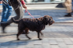 Walking the dog in the city Stock Photography