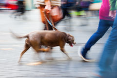 Walking the dog in the city Stock Photos