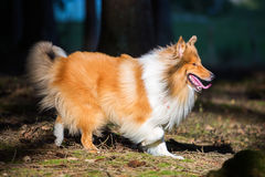 Walking dog in the forest Royalty Free Stock Photo