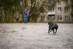 Walking the dog French Bulldog Stock Photo