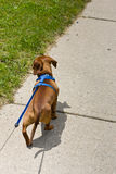 Walking the dog on leash Royalty Free Stock Photo