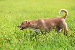Walking dog on the meadow Stock Photography