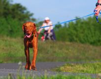 Walking dog in nature Royalty Free Stock Photography