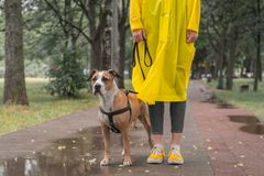 Walking the dog in raincoat on rainy day. Female person and staffordshire terrier dog on a leash stand on pavement in urban park. In bad weather royalty free stock photography