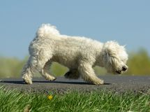 Walking the Dog. In road Stock Photo