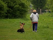 Walking Dogs. A woman walking two dogs in the park Royalty Free Stock Images