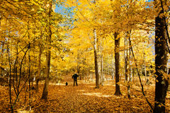 Walking with the dogs in the autumn fores Stock Photos