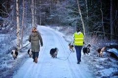 Walking dogs. Walking dog a winter morning Royalty Free Stock Image