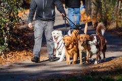 Walking dogs job. In a group Royalty Free Stock Images
