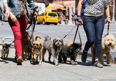 Walking the dogs in NY. New York City, USA - May 19, 2014: Two women walking eight dogs in midtown manhattan. Some dogs look into the camera Royalty Free Stock Photo