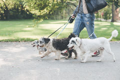 Walking with dogs in park. A person is walking three with dogs in a park Stock Image