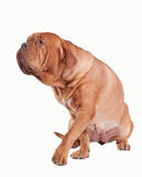 Walking dogue de bordeaux isolated on white Stock Photos