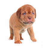 Walking Dogue De Bordeaux puppy Royalty Free Stock Photo