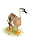 Walking domestic goose. Stock Photo