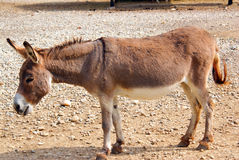 Walking donkey Stock Photography