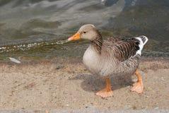 Walking Duck. Focus on duck is walking Stock Images