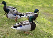 Walking ducks on the green grass. Royalty Free Stock Photography