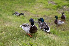 Walking ducks on the green grass. Stock Images