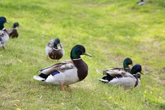 Walking ducks on the green grass. Royalty Free Stock Image