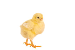 Walking easter chick Stock Images