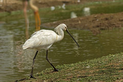 Walking on the edge. A spoon bill from Sariska sharing habitat with corcs & others. COexistence Royalty Free Stock Photography