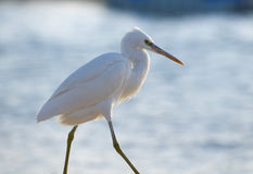 Walking egret Stock Photography