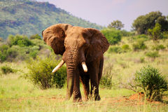 Walking elephant. Landscape view of elefant with open ears stock images