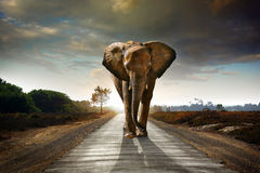 Walking Elephant. Single elephant walking in a road with the Sun from behind royalty free stock image