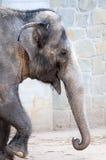 Walking elephant. Close up of an elephant walking stock photography