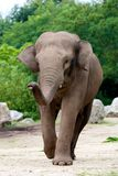 Walking elephant. Dynamic pic of a asian elephant.  The elephant is walking alone Royalty Free Stock Photos