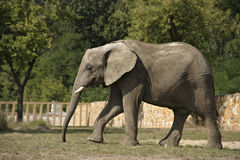 Walking elephant. Elephant walking on pen in the zoo in Warsaw Stock Photos