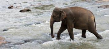 Walking elephant. Elephant walking through shallow streaming water Royalty Free Stock Images