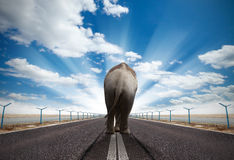 Walking elephant. Elephant walking on runway with sunny sky. Concept of captivity and strength Stock Images