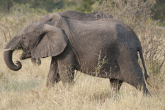 Walking elephant. In the evening light in Tanzania, Africa stock image