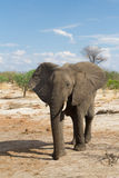 Walking elephant. An African elephant walking in nature royalty free stock photos