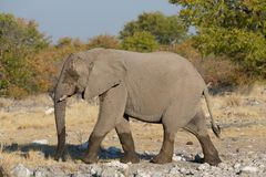 Walking elephant Royalty Free Stock Image