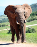 Walking elephant. Addo elephant np Royalty Free Stock Photography