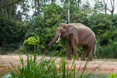 Walking Elephant. A walking elephant behind grass royalty free stock photography