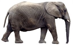 Walking Elephant Isolated. An elephant walking from the side view, isolated on a white background royalty free stock photography