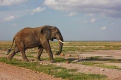 Walking elephant. Elephant walking in Masai Mara National Reserve in Kenya stock images