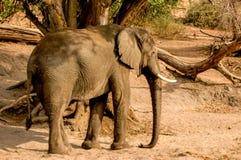 Walking Elephant. Elephant walking in National Park Chobe stock photography