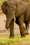 Walking Elephant. Elephant in National Park Chobe royalty free stock photo